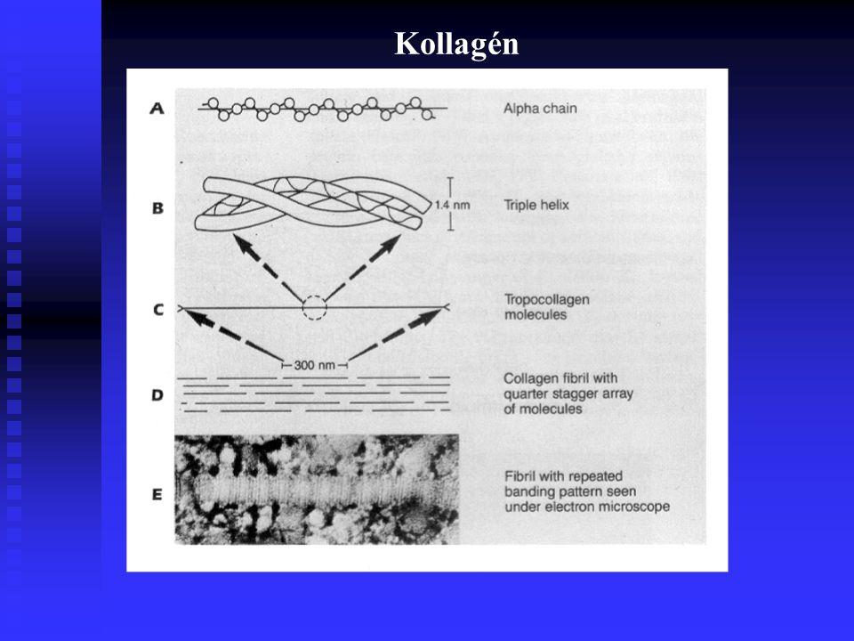 Az ÍZÜLETI PORCOK ÖSSZETÉTELE ÉS SZERKEZETE 2. KOLLAGÉN (rostos ultraszerkezet, prokollagén polipeptid) 10-30 % 3. PROTEOGLYCAN ( PG ) nagy poliszahar