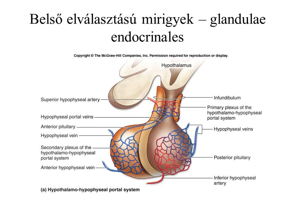 Tobozmirigy – corpus pineale lencse alakú páratlan szerv a III. agykamra mögött