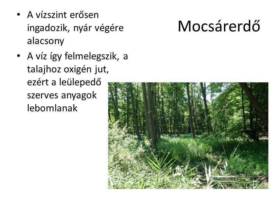 Mocsárerdő A vízszint erősen ingadozik, nyár végére alacsony A víz így felmelegszik, a talajhoz oxigén jut, ezért a leülepedő szerves anyagok lebomlan