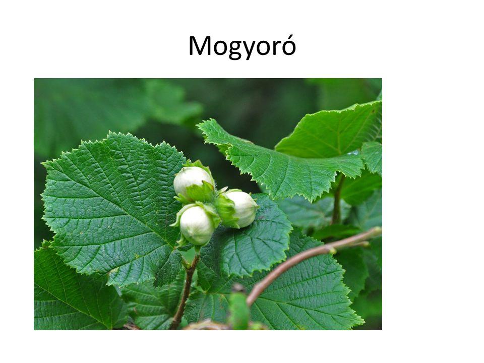 Mogyoró