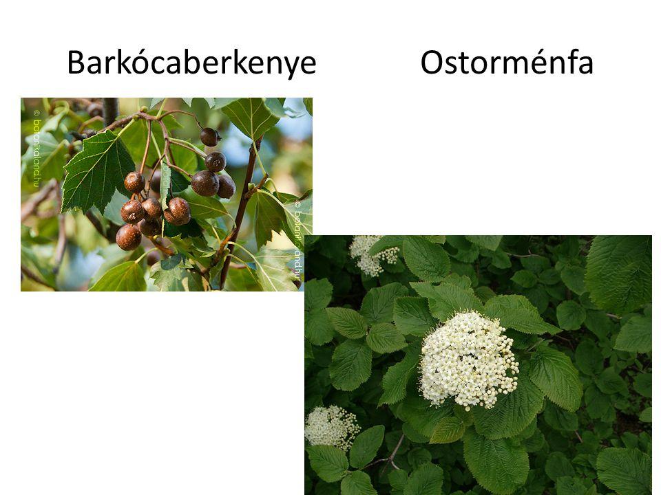 Barkócaberkenye Ostorménfa