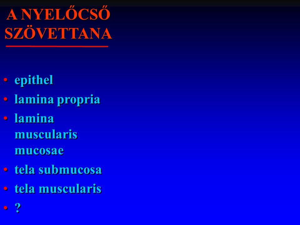 A NYELŐCSŐ SZÖVETTANA epithel lamina propria lamina muscularis mucosae tela submucosa tela muscularis ? epithel lamina propria lamina muscularis mucos