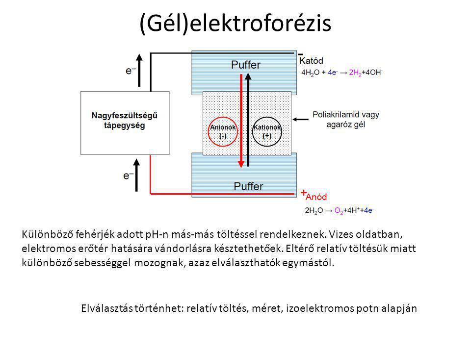 (Gél)elektroforézis Különböző fehérjék adott pH-n más-más töltéssel rendelkeznek. Vizes oldatban, elektromos erőtér hatására vándorlásra késztethetőek