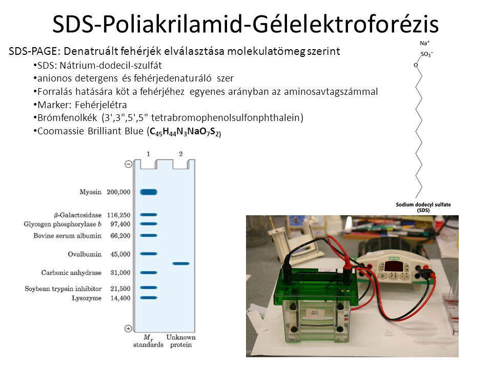 SDS-Poliakrilamid-Gélelektroforézis SDS-PAGE: Denatruált fehérjék elválasztása molekulatömeg szerint SDS: Nátrium-dodecil-szulfát anionos detergens és fehérjedenaturáló szer Forralás hatására köt a fehérjéhez egyenes arányban az aminosavtagszámmal Marker: Fehérjelétra Brómfenolkék (3 ,3 ,5 ,5 tetrabromophenolsulfonphthalein) Coomassie Brilliant Blue (C 45 H 44 N 3 NaO 7 S 2)