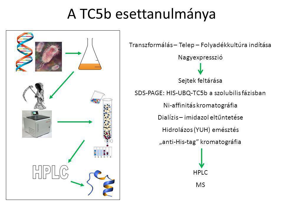 """A TC5b esettanulmánya Transzformálás – Telep – Folyadékkultúra indítása Nagyexpresszió Sejtek feltárása SDS-PAGE: HIS-UBQ-TC5b a szolubilis fázisban Ni-affinitás kromatográfia Dialízis – imidazol eltűntetése Hidrolázos (YUH) emésztés """"anti-His-tag kromatográfia HPLC MS"""