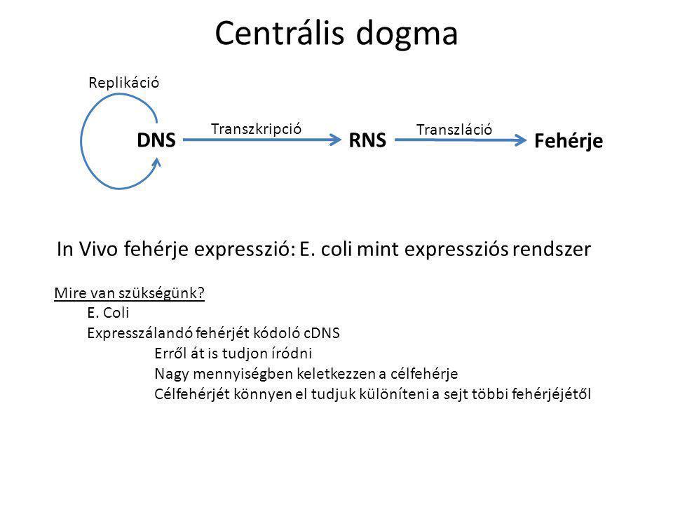 Centrális dogma DNS RNS Fehérje Replikáció Transzkripció Transzláció In Vivo fehérje expresszió: E. coli mint expressziós rendszer Mire van szükségünk