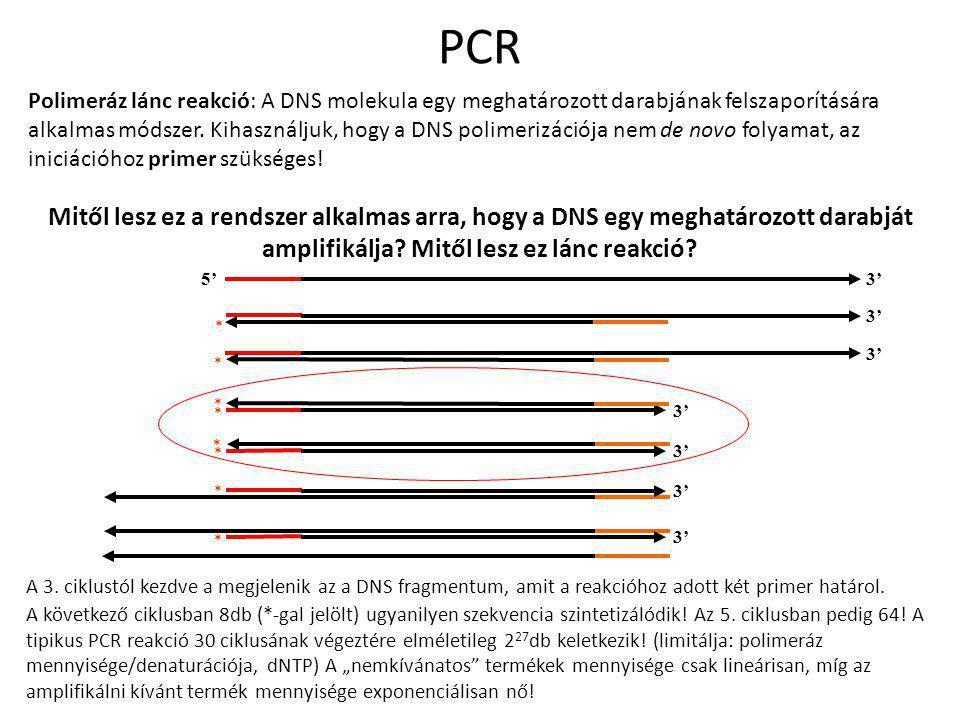 A 3. ciklustól kezdve a megjelenik az a DNS fragmentum, amit a reakcióhoz adott két primer határol. A következő ciklusban 8db (*-gal jelölt) ugyanilye