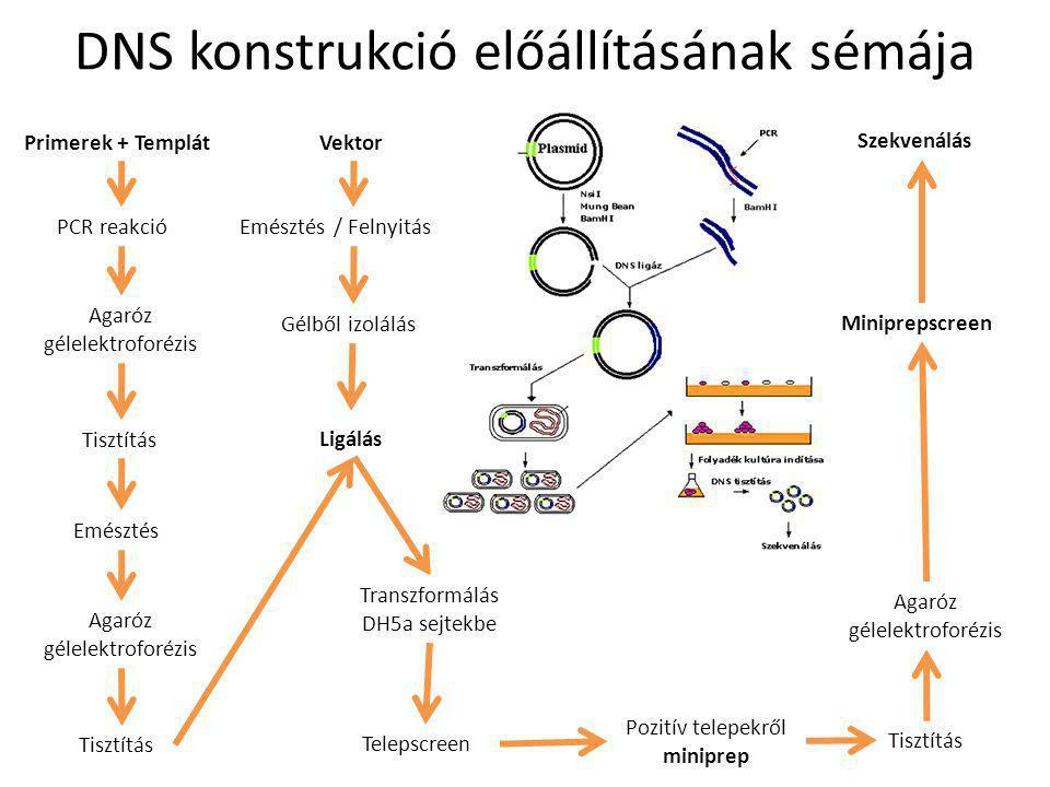 DNS konstrukció előállításának sémája Transzformálás DH5a sejtekbe Telepscreen Pozitív telepekről miniprep Tisztítás Agaróz gélelektroforézis Miniprep