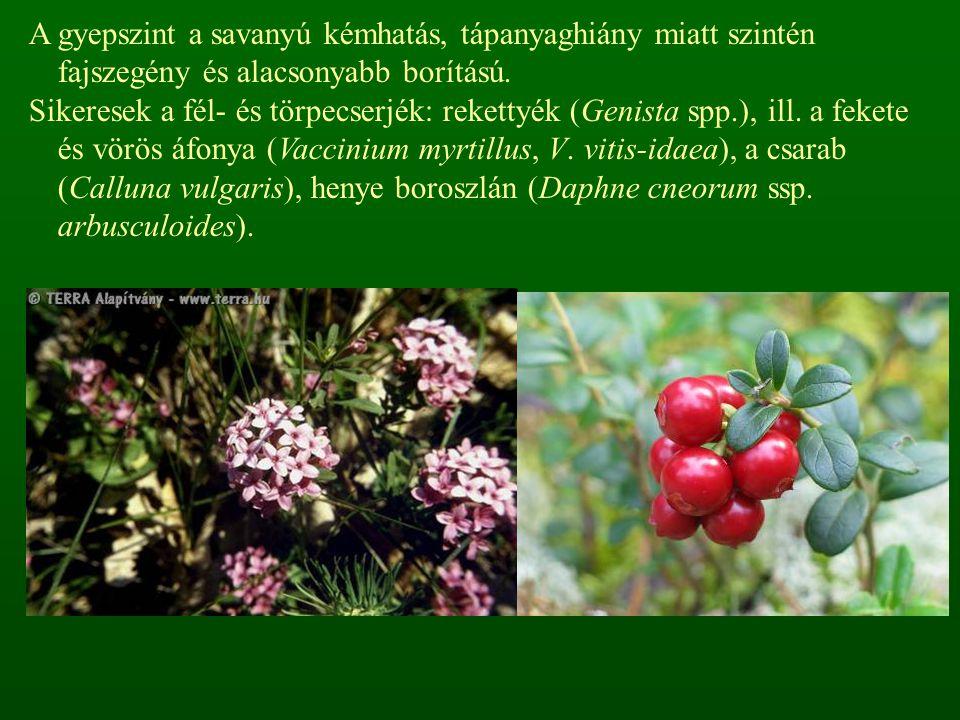 A gyepszint a savanyú kémhatás, tápanyaghiány miatt szintén fajszegény és alacsonyabb borítású.