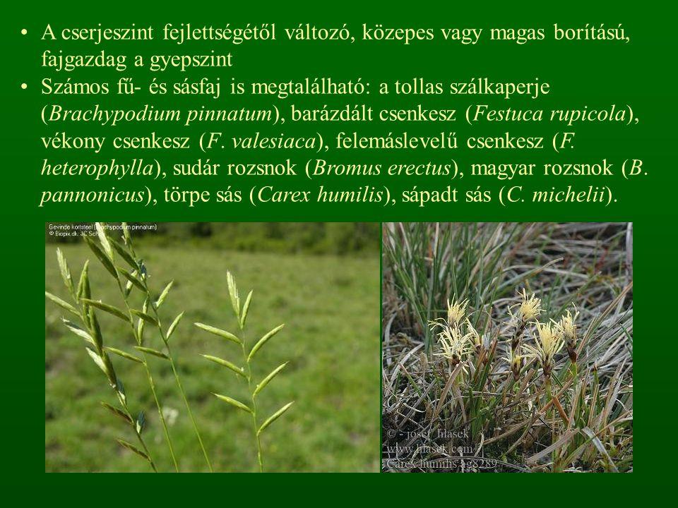 A cserjeszint fejlettségétől változó, közepes vagy magas borítású, fajgazdag a gyepszint Számos fű- és sásfaj is megtalálható: a tollas szálkaperje (Brachypodium pinnatum), barázdált csenkesz (Festuca rupicola), vékony csenkesz (F.