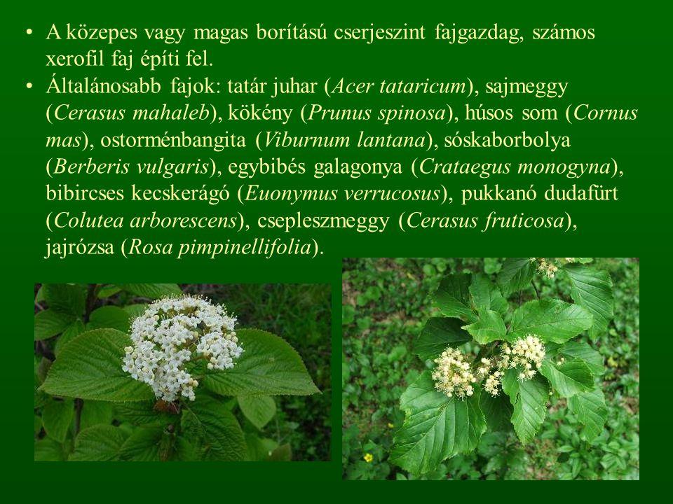 A közepes vagy magas borítású cserjeszint fajgazdag, számos xerofil faj építi fel.