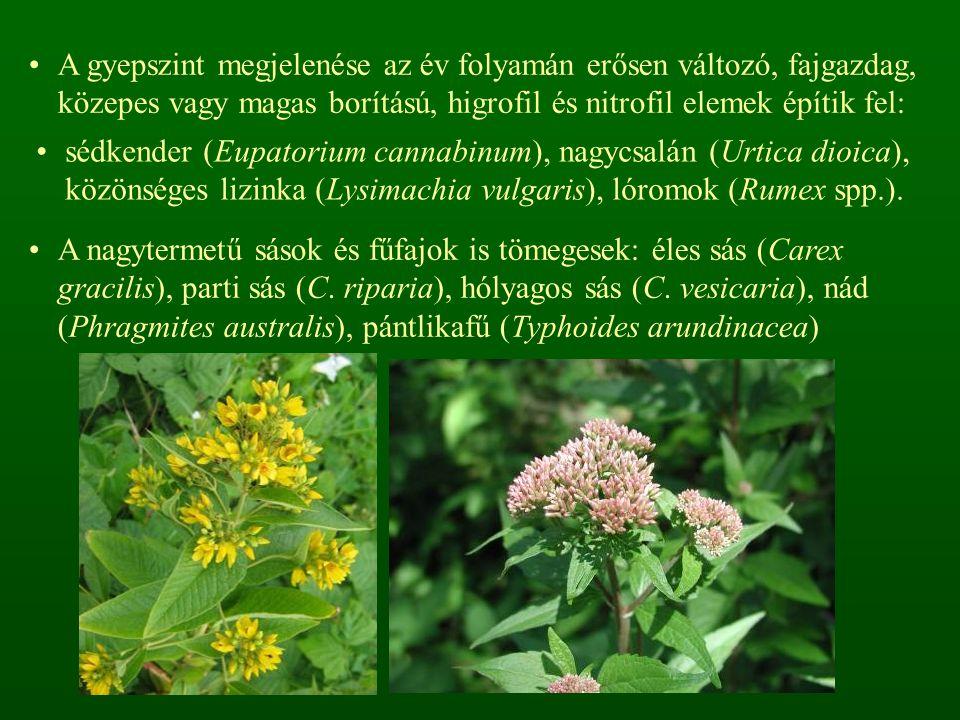 A gyepszint megjelenése az év folyamán erősen változó, fajgazdag, közepes vagy magas borítású, higrofil és nitrofil elemek építik fel: sédkender (Eupatorium cannabinum), nagycsalán (Urtica dioica), közönséges lizinka (Lysimachia vulgaris), lóromok (Rumex spp.).