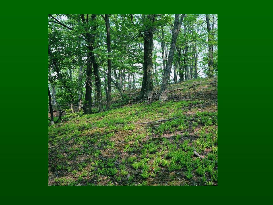A homokkőre települt mészkedvelő erdeifenyvesben dominálnak a száraz tölgyes elemek:a tollas szálkaperje (Brachypodium pinnatum), sudár rozsnok (Bromus erectus), piros gólyaorr (Geranium sanguineum), sárga len (Linum flavum).