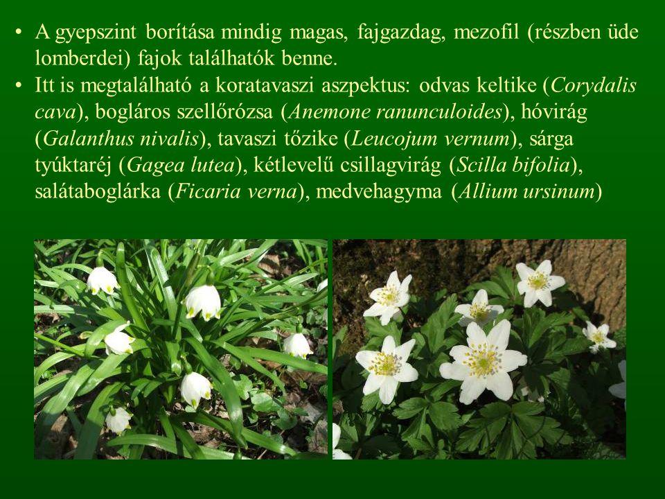 A gyepszint borítása mindig magas, fajgazdag, mezofil (részben üde lomberdei) fajok találhatók benne.