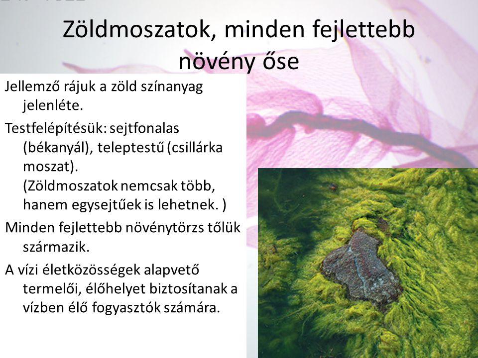 Zöldmoszatok, minden fejlettebb növény őse Jellemző rájuk a zöld színanyag jelenléte. Testfelépítésük: sejtfonalas (békanyál), teleptestű (csillárka m