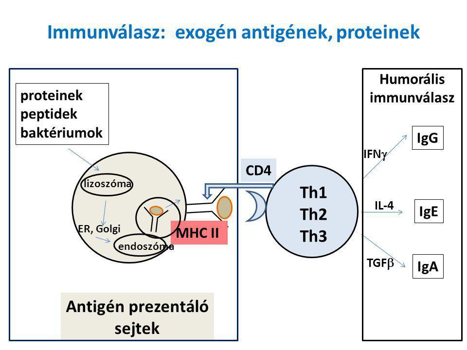 Immunválasz: endogén antigének, DNS vírus tumor nucleus peptid antigens MHC I Antigén prezentáló sejtek CD8 Tc Sejtes Immunválasz: sejtlízis