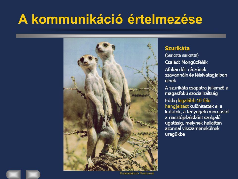 Kommunikációs Rendszerek A kommunikáció értelmezése Szurikáta (Suricata suricatta) Család: Mongúzfélék Afrikai déli részének szavannáin és félsivatagj