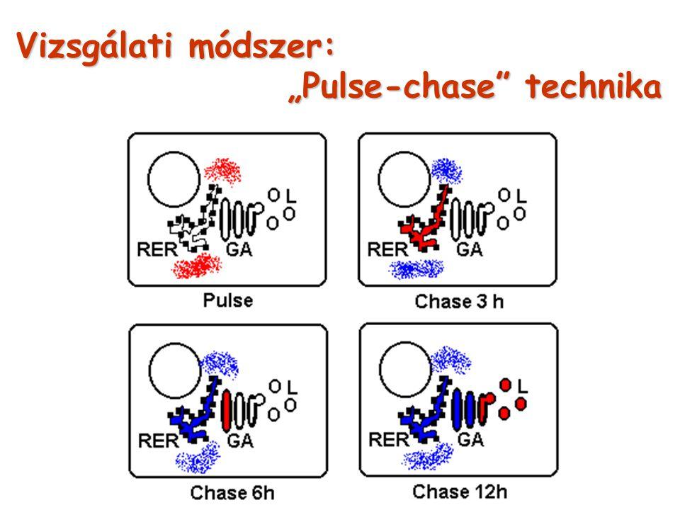 """Vizsgálati módszer: """"Pulse-chase"""" technika"""