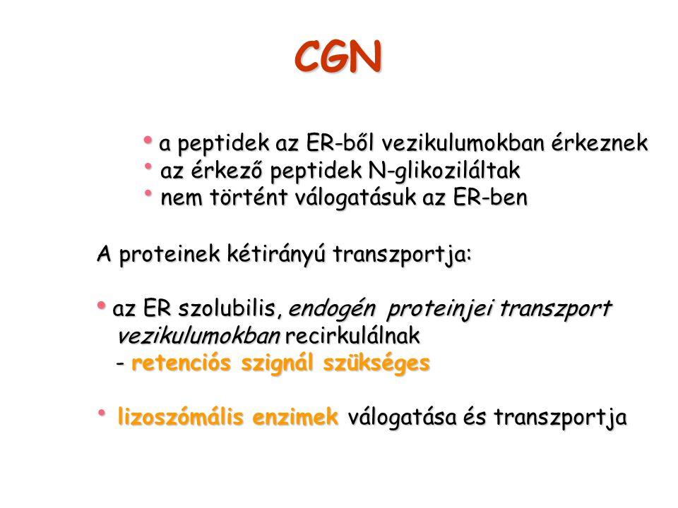 CGN a peptidek az ER-ből vezikulumokban érkeznek a peptidek az ER-ből vezikulumokban érkeznek az érkező peptidek N-glikoziláltak az érkező peptidek N-