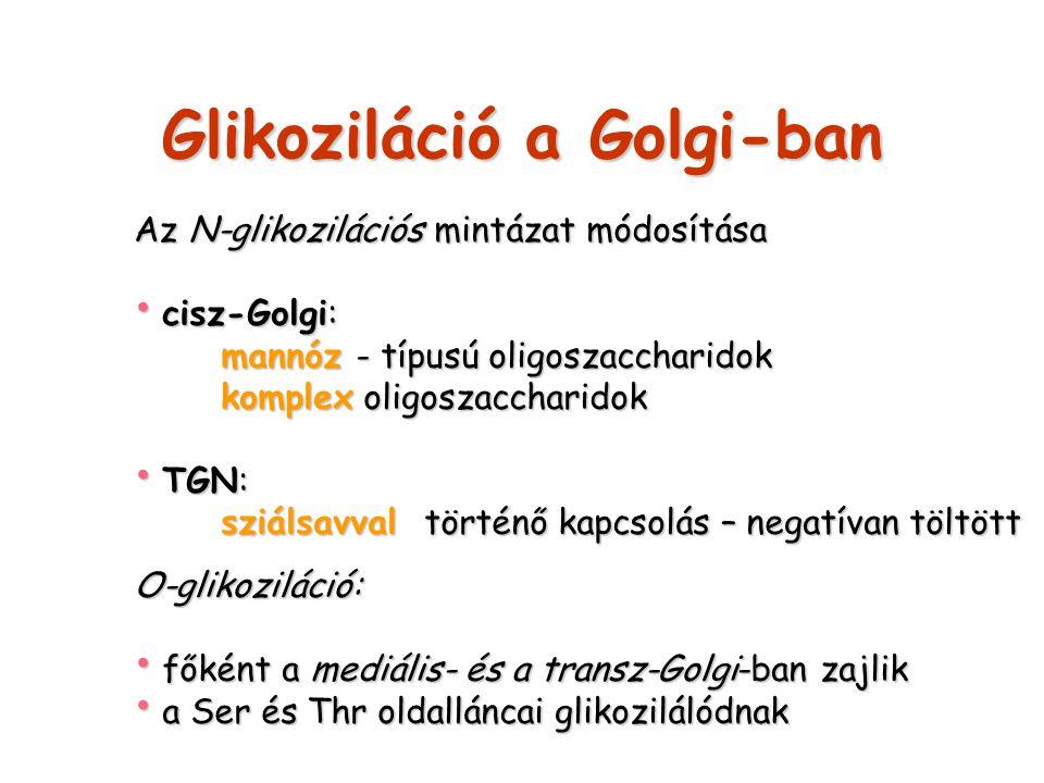 Glikoziláció a Golgi-ban Az N-glikozilációs mintázat módosítása cisz-Golgi: cisz-Golgi: mannóz - típusú oligoszaccharidok komplex oligoszaccharidok TG