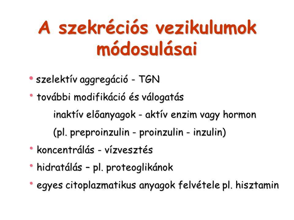 A szekréciós vezikulumok módosulásai szelektív aggregáció - TGN szelektív aggregáció - TGN további modifikáció és válogatás további modifikáció és vál
