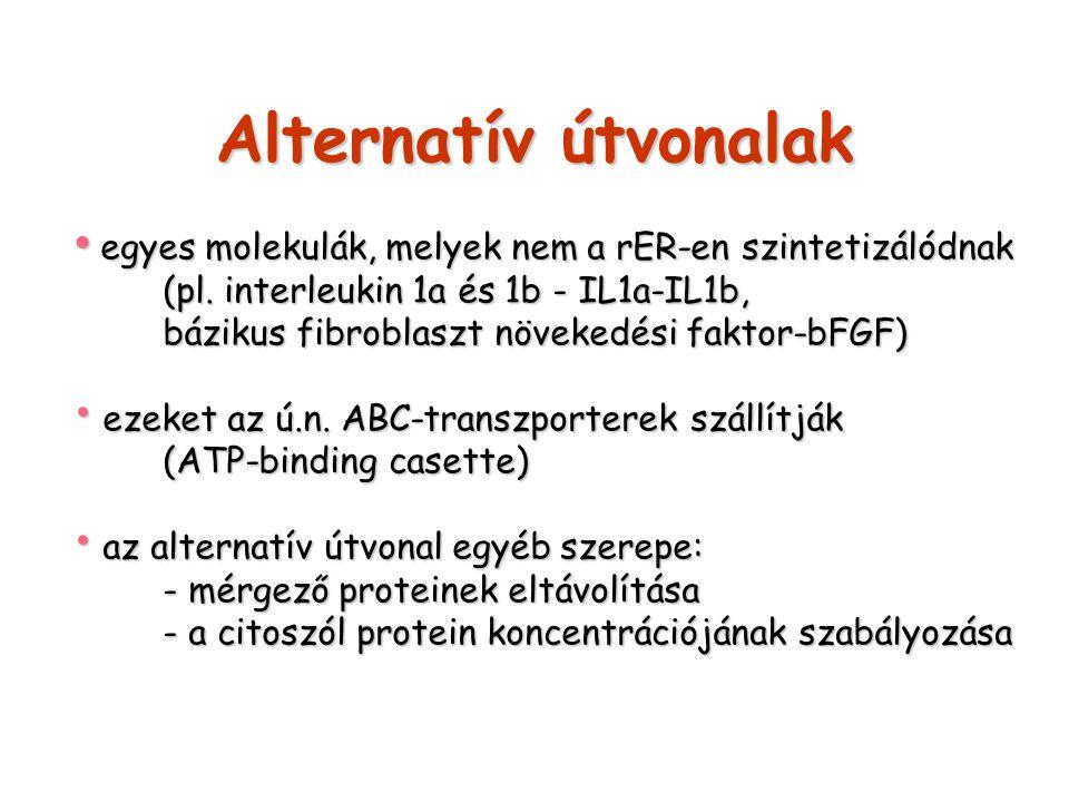Alternatív útvonalak egyes molekulák, melyek nem a rER-en szintetizálódnak egyes molekulák, melyek nem a rER-en szintetizálódnak (pl. interleukin 1a é