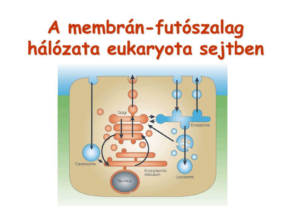 A membrán-futószalag hálózata eukaryota sejtben