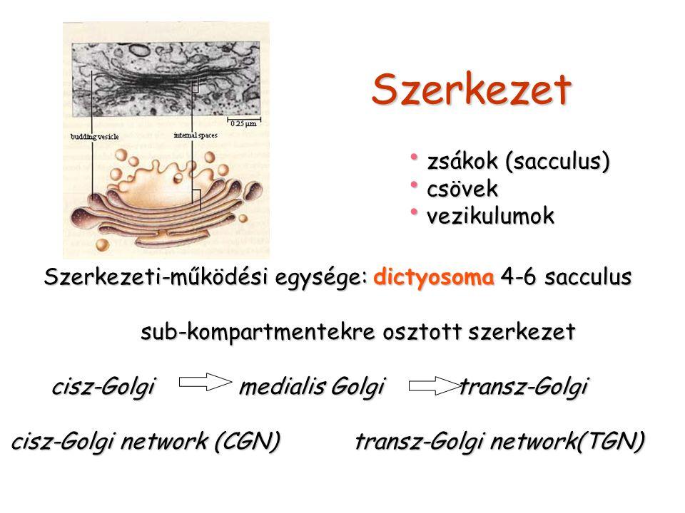 Szerkezet zsákok (sacculus) zsákok (sacculus) csövek csövek vezikulumok vezikulumok Szerkezeti-működési egysége: dictyosoma 4-6 sacculus sub-kompartme