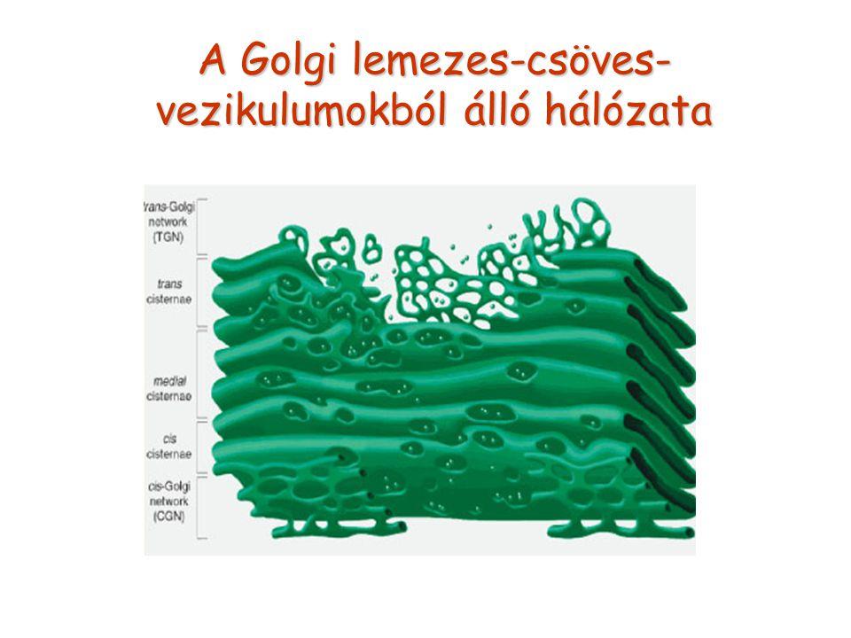 A Golgi lemezes-csöves- vezikulumokból álló hálózata