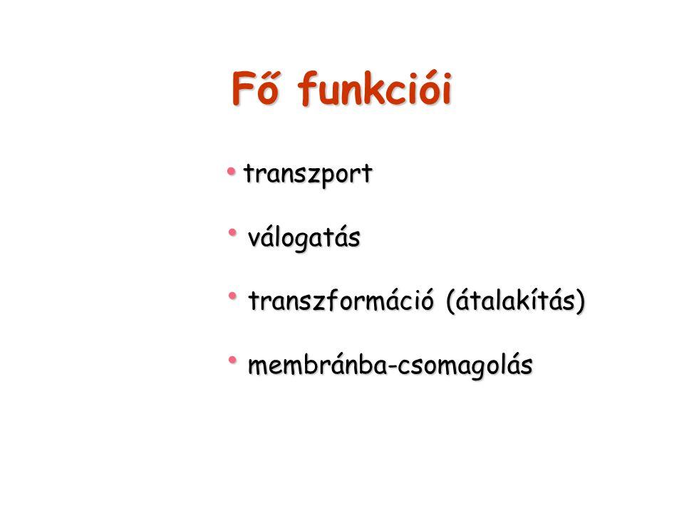 Fő funkciói transzport transzport válogatás válogatás transzformáció (átalakítás) transzformáció (átalakítás) membránba-csomagolás membránba-csomagolá