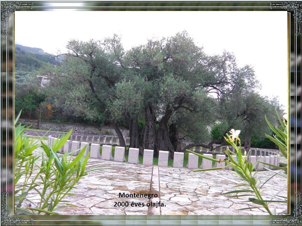Montenegro 2000 éves olajfa.