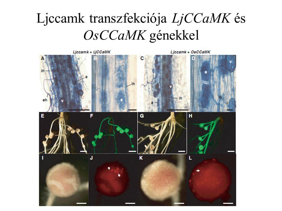 Ljccamk transzfekciója LjCCaMK és OsCCaMK génekkel