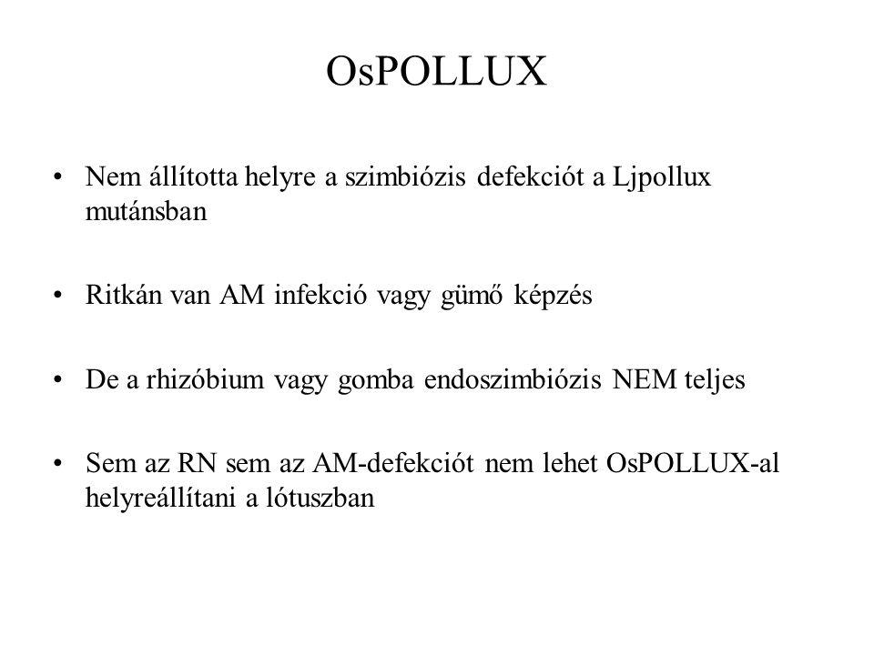 OsPOLLUX Nem állította helyre a szimbiózis defekciót a Ljpollux mutánsban Ritkán van AM infekció vagy gümő képzés De a rhizóbium vagy gomba endoszimbiózis NEM teljes Sem az RN sem az AM-defekciót nem lehet OsPOLLUX-al helyreállítani a lótuszban