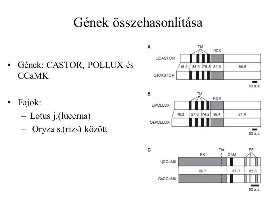 Gének: CASTOR, POLLUX és CCaMK Fajok: –Lotus j.(lucerna) – Oryza s.(rizs) között Gének összehasonlítása