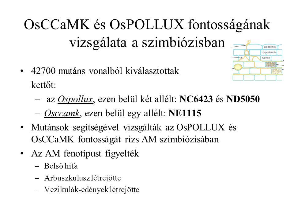 42700 mutáns vonalból kiválasztottak kettőt: – az Ospollux, ezen belül két allélt: NC6423 és ND5050 –Osccamk, ezen belül egy allélt: NE1115 Mutánsok segítségével vizsgálták az OsPOLLUX és OsCCaMK fontosságát rizs AM szimbiózisában Az AM fenotípust figyelték –Belső hifa –Arbuszkulusz létrejötte –Vezikulák-edények létrejötte OsCCaMK és OsPOLLUX fontosságának vizsgálata a szimbiózisban
