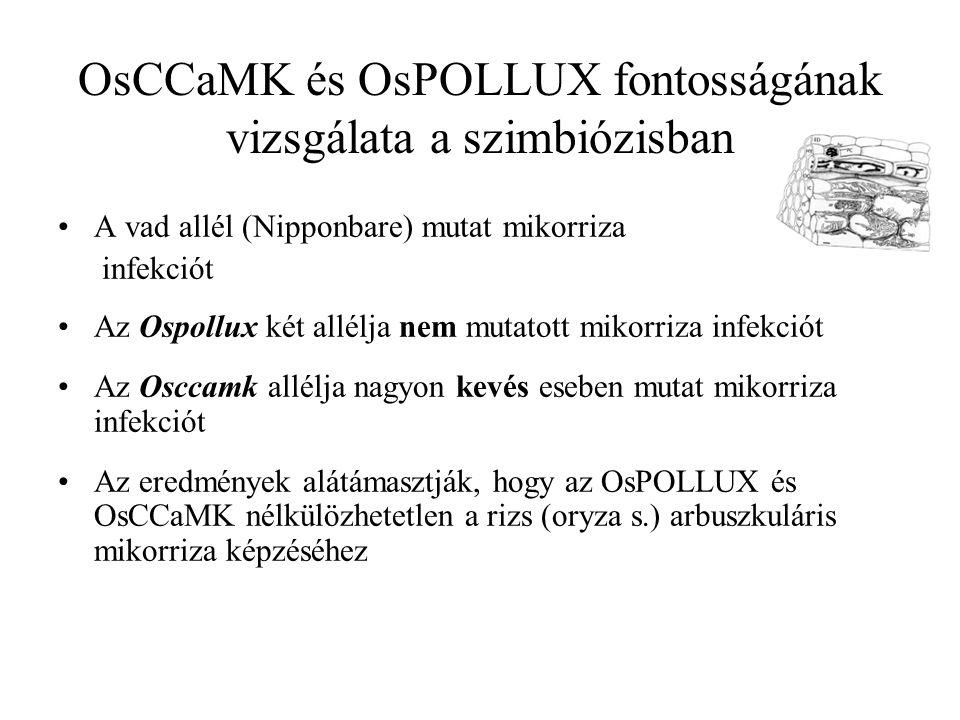 A vad allél (Nipponbare) mutat mikorriza infekciót Az Ospollux két allélja nem mutatott mikorriza infekciót Az Osccamk allélja nagyon kevés eseben mutat mikorriza infekciót Az eredmények alátámasztják, hogy az OsPOLLUX és OsCCaMK nélkülözhetetlen a rizs (oryza s.) arbuszkuláris mikorriza képzéséhez OsCCaMK és OsPOLLUX fontosságának vizsgálata a szimbiózisban