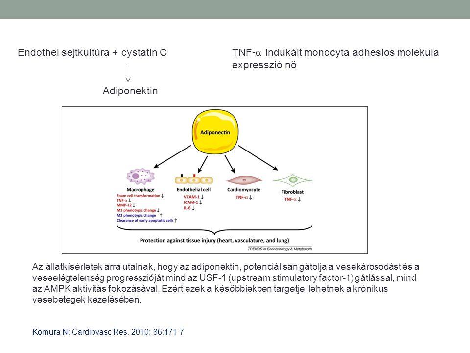 Endothel sejtkultúra + cystatin C Adiponektin TNF-  indukált monocyta adhesios molekula expresszió nő Komura N: Cardiovasc Res. 2010; 86:471-7 Az áll