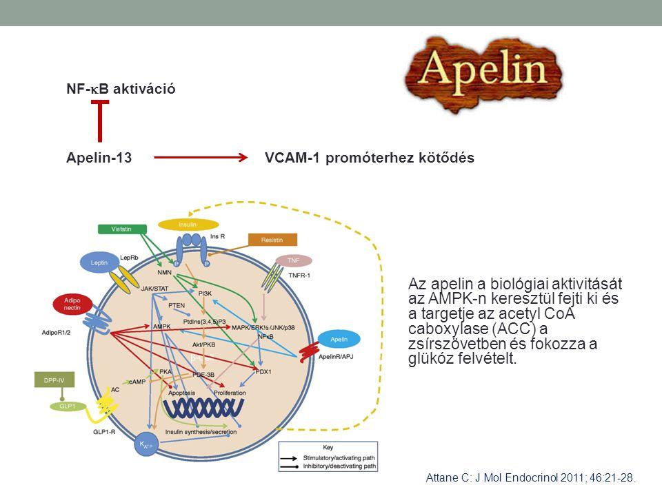 Az apelin a biológiai aktivitását az AMPK-n keresztül fejti ki és a targetje az acetyl CoA caboxylase (ACC) a zsírszövetben és fokozza a glükóz felvét