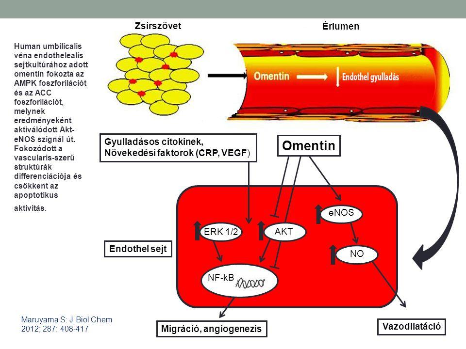 OmentinOmentin Trends Cardiovasc Med 2010 Jul;20(5):143-8. ERK 1/2 eNOS NO NF-kB Endothel sejt Gyulladásos citokinek, Növekedési faktorok (CRP, VEGF)