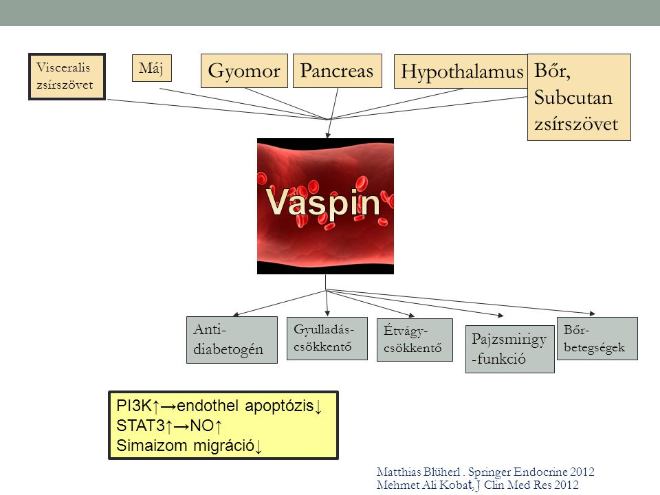 Visceralis zsírszövet Gyomor Máj Pancreas Hypothalamus Bőr, Subcutan zsírszövet Anti- diabetogén Gyulladás- csökkentő Étvágy- csökkentő Pajzsmirigy -f