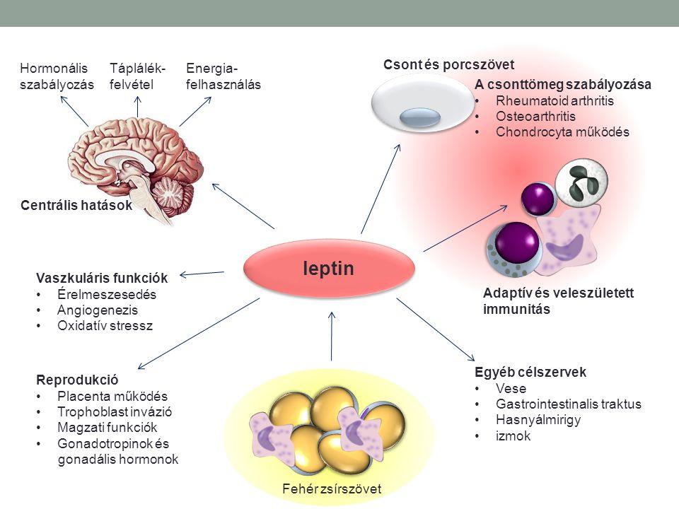 leptin Hormonális szabályozás Táplálék- felvétel Energia- felhasználás Fehér zsírszövet Csont és porcszövet Centrális hatások Adaptív és veleszületett