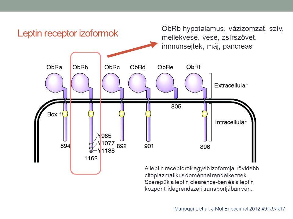 Leptin receptor izoformok Marroquí L et al. J Mol Endocrinol 2012;49:R9-R17 ObRb hypotalamus, vázizomzat, szív, mellékvese, vese, zsírszövet, immunsej
