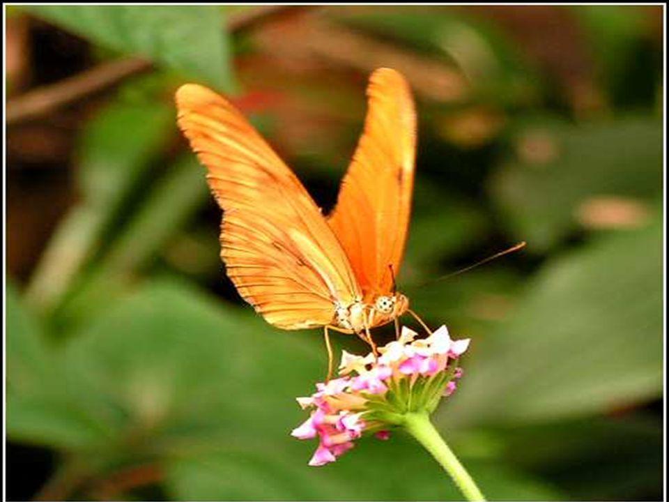 A férfi tovább nézte, mert várta, hogy bármelyik pillanatban kinyílhatnak a szárnyak, megnőnek, kitárulnak és képesek lesznek elvinni a pillangó testét, szilárdak és erősek lesznek.