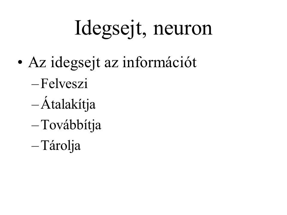 Idegsejt, neuron Az idegsejt az információt –Felveszi –Átalakítja –Továbbítja –Tárolja