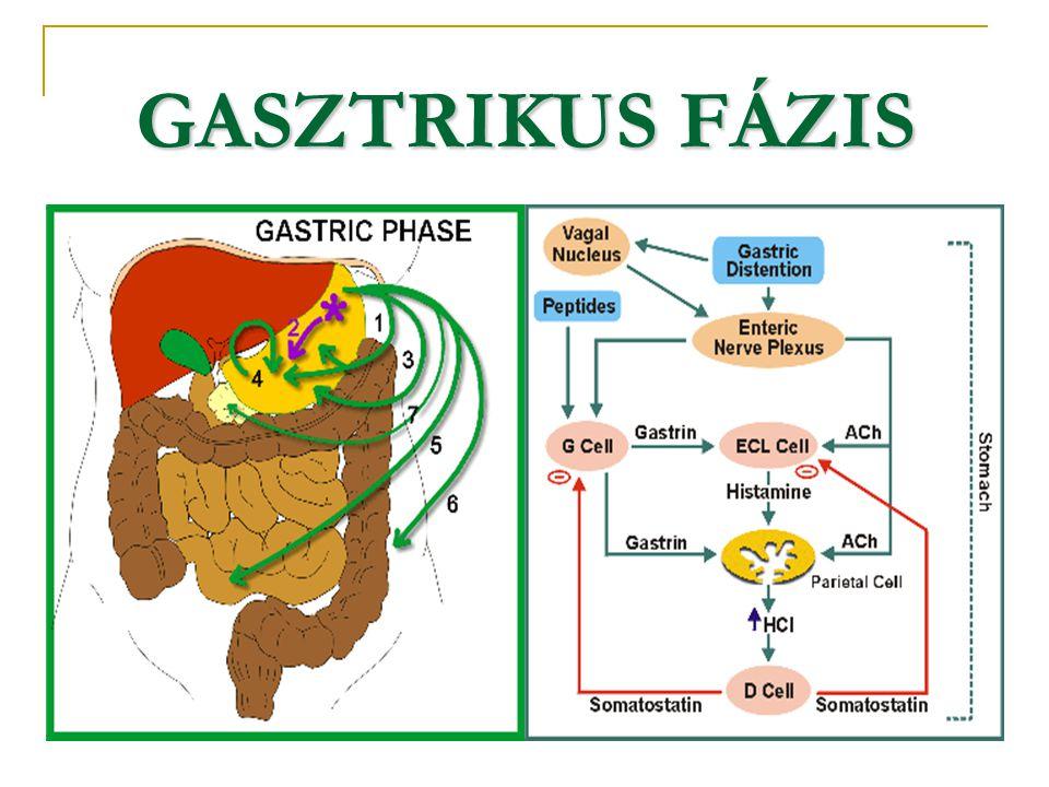 GASZTRIKUS FÁZIS