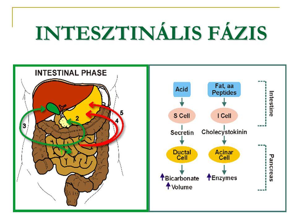 INTESZTINÁLIS FÁZIS