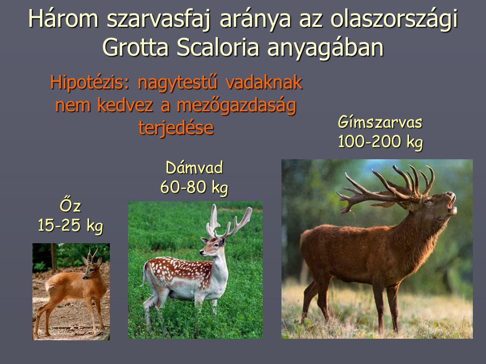 Három szarvasfaj aránya az olaszországi Grotta Scaloria anyagában Dámvad 60-80 kg Őz 15-25 kg Gímszarvas 100-200 kg Hipotézis: nagytestű vadaknak nem kedvez a mezőgazdaság terjedése