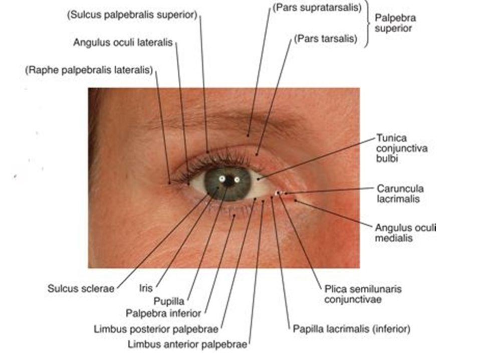 A szem felépítése és a látás folyamata - ppt letölteni 7b63685b7c