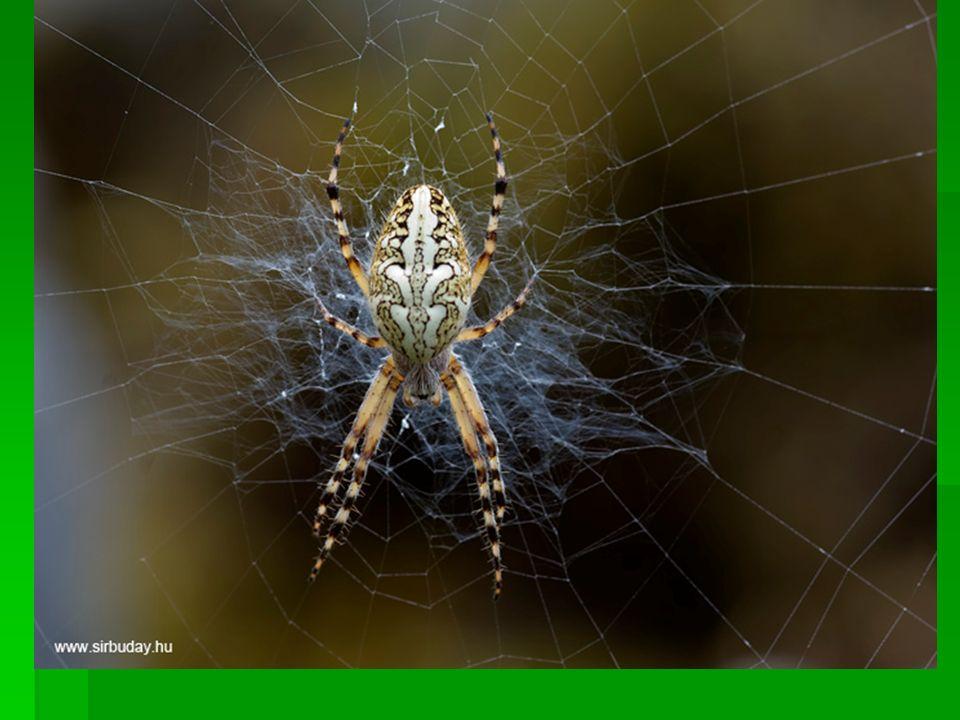 Pók ember szopást
