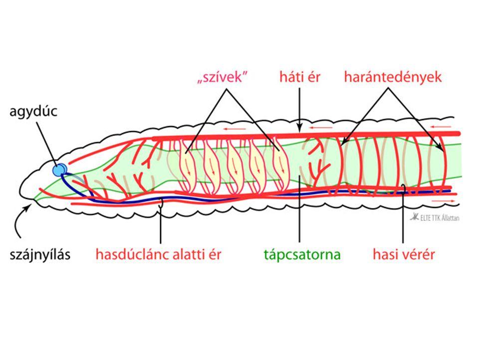 Gyurusférgek keringesi rendszere. Férgek törzsei